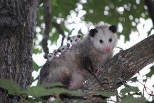 Richmond Pest Control Humane Wildlife Pest Removal Staten Island NY