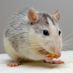 Richmond Pest Control Rodent Pest Extermination Services Staten Island NY