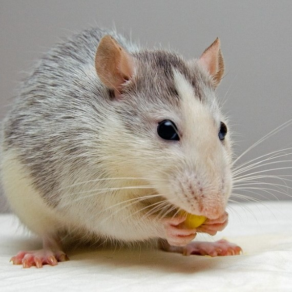 Richmond Pest Control Rodent Pest Control Services Staten Island NY