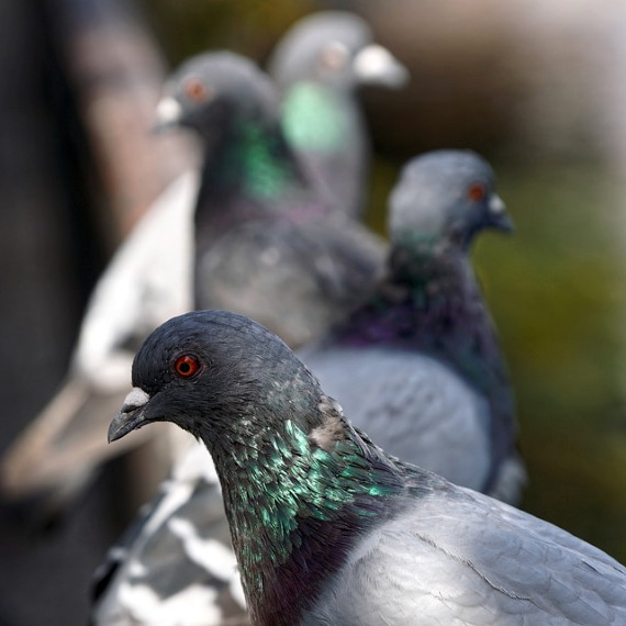 Richmond Pest Control Pigeon Control Services Staten Island NY