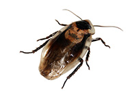 Richmond Pest Control Cockroach Facts for Homeowners